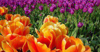 Washington_Tulip_Festival_by_docbevo